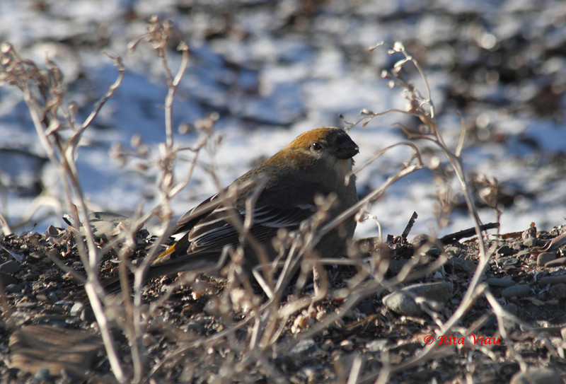 Pine Grosbeak - December 24,2012 - River Bourgeois, Cape Breton, NS