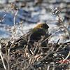 Pine Grosbeak - December 24,2012 - River Bourgeois, Cape Breton, NS