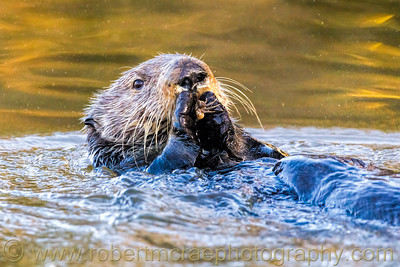 Southern Sea Otter with Seafood