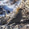 Pine Grosbeak - December 24, 2012 - River Bourgeois, Cape Breton, NS