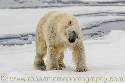 Polar Bear on pack ice shaking off water.