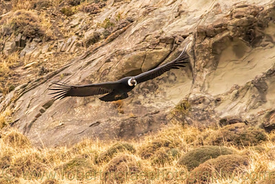 Andean Condor in Flight