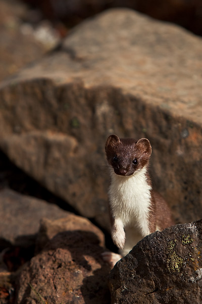Least (short-tailed) Weasel - Wrangell-St. Elias National Park, AK