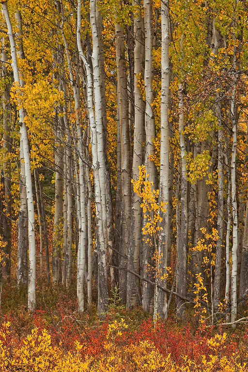 Aspens and Autumn Undergrowth - Wrangell-St. Elias National Park