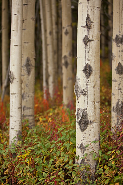 Autumn Aspen, Wrangell-St. Elias National Park, Alaska.