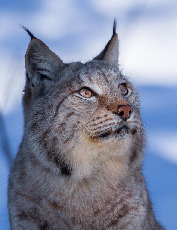 Lynx 13