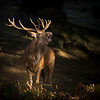 Stag Roar-Edit copy