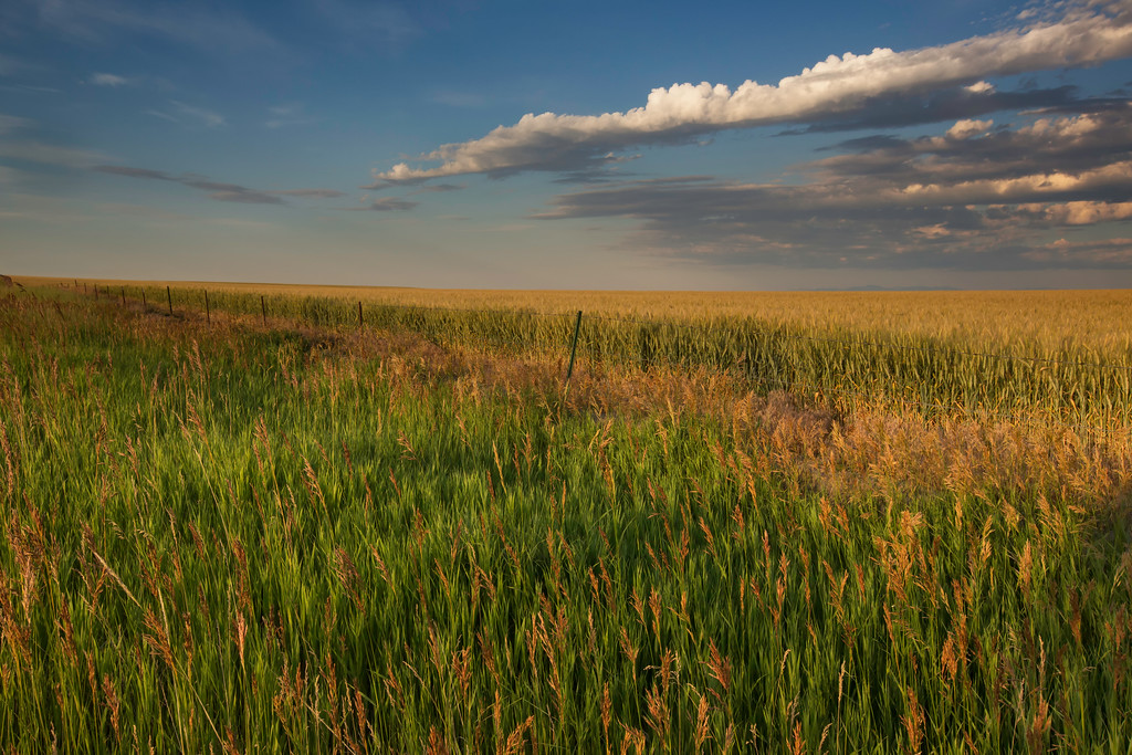 Grass and Wheat Field