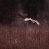 Barn Owl hunting for voles