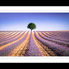 Lavender Provence 3