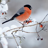 Bullfinch on snowy branch