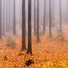 Misty forest Slovenia