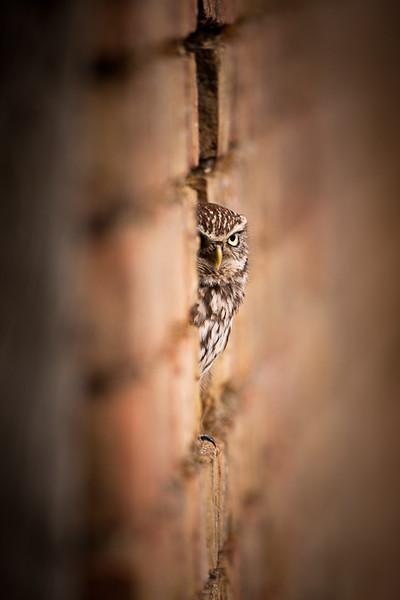 Little Owl wall