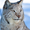 Lynx 3 web sharpened