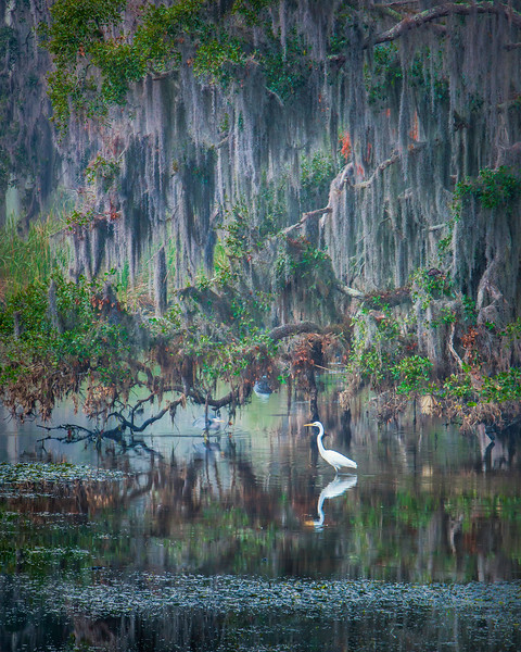Great Egret and Mossy Trees