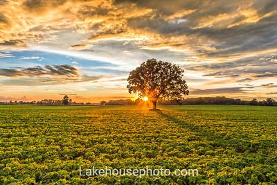 Soy Field Near Ovid Michigan