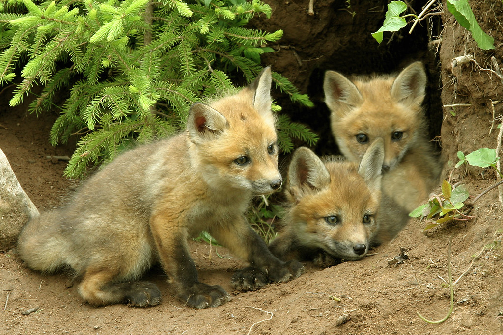 3 Red Fox Kits