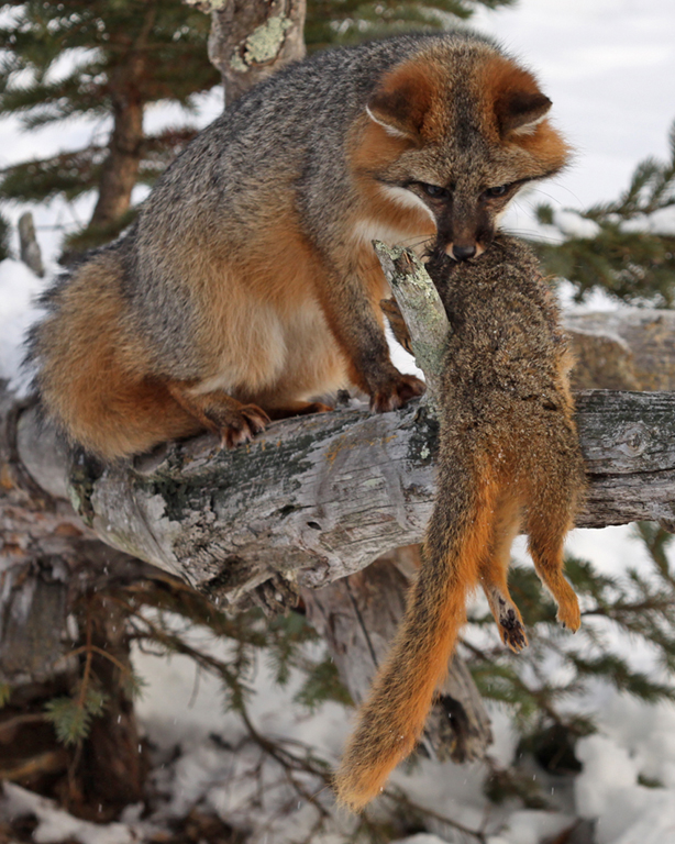 Gray Fox with Squirrel