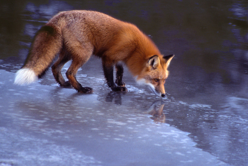 #1 Red Fox on Ice