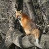 Red Fox,<br /> Prospect Park<br /> Wheatridge,Colorado
