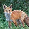 Young Red Fox,in the evening.<br /> Longmont,Colorado