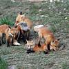 Red Fox family.<br /> Boulder County,Colorado