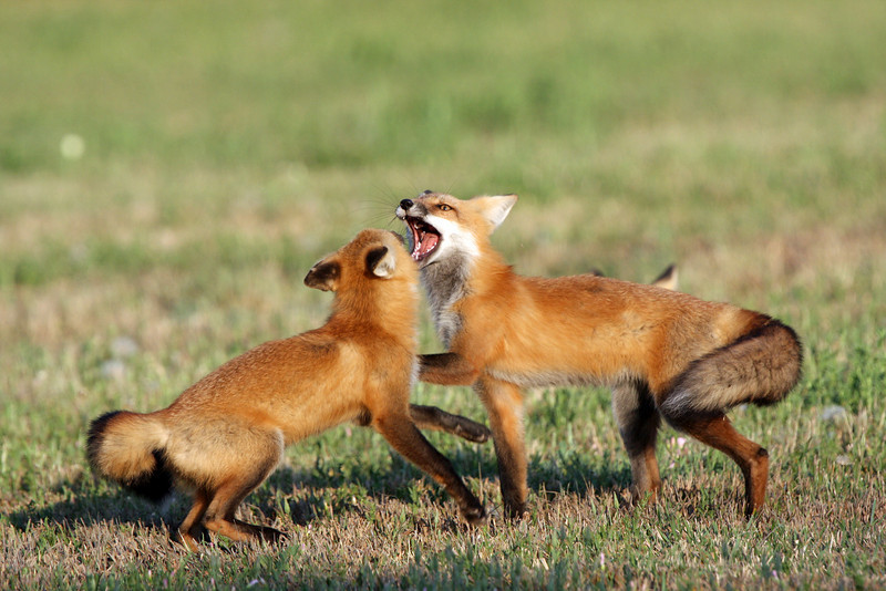 Playful Red Foxes.<br /> Longmont,Colorado...series