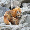 IMG_1155<br /> Adult Redfox with her Kit<br /> Boulder County,Colorado