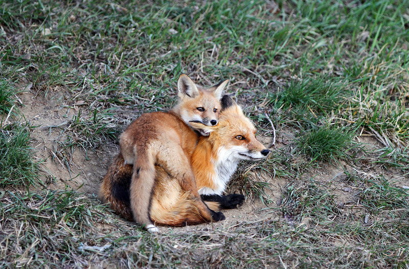 Red Foxes<br /> Boulder County,Colorado