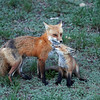 Red Fox ,with her kit.<br /> Boulder County,Colorado