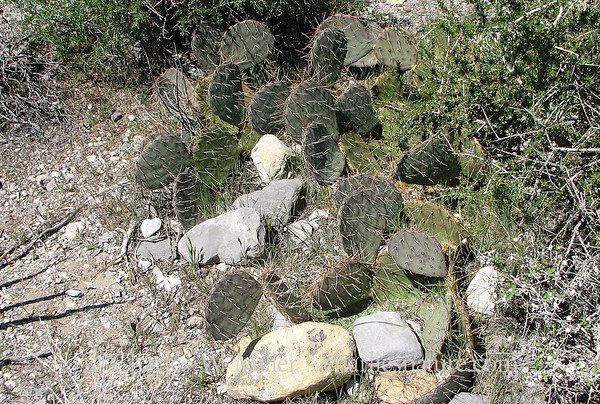 Beavertail cacti