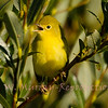Yellow Warbler Chick