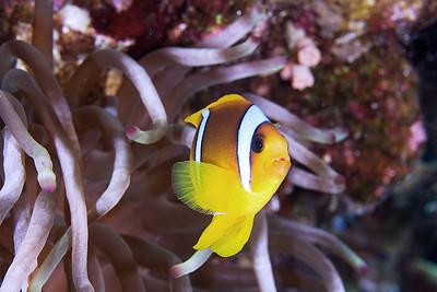 Two Bar Anenome Fish 2