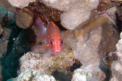 SIlverspot Squirrelfish