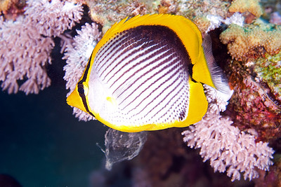 Black Backed Butterflyfish