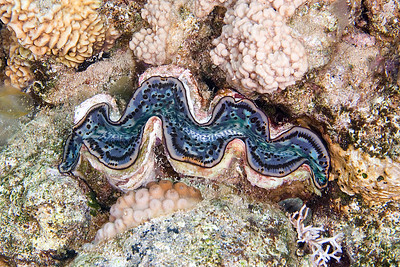 Giant Clam Blue