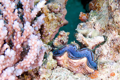 Giant Clam and Corals