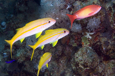 Goatfish and Anthius