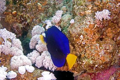 Yellowtail Surgeon Fish