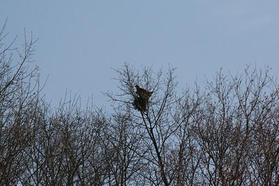 Red Shoulder Hawks 2013