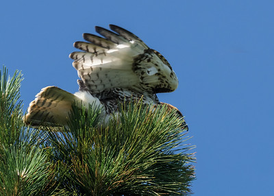 Red Tail Hawks at World's End