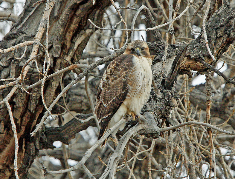 Young Red Tail Hawk<br /> Boulder County,Colorado