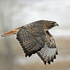 IMG_027 Redtail hawk in flight