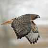 IMG_027 Redtail hawk in flight