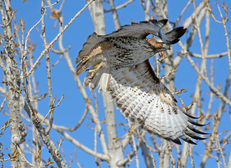 Red Tail Hawk<br /> <br /> Boulder County,Colorado