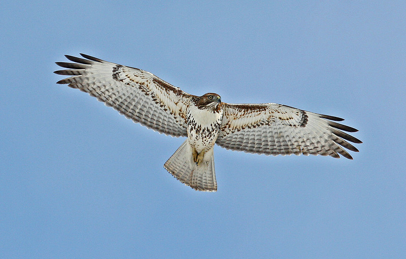 Redtail Hawk,Boulder County,Colorado