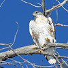 Ferruginos Hawk <br /> Longmont,Colorado..series