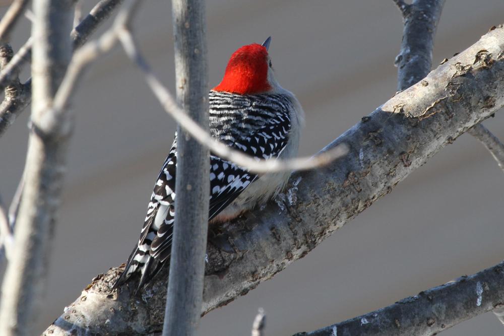 male Red-bellied Woodpecker<br /> Backyard in Trempealeau County