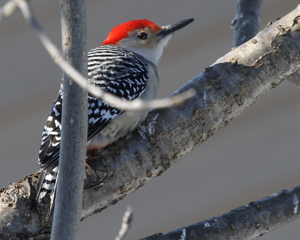 Red-bellied Woodpecker male<br /> Trempealeau County