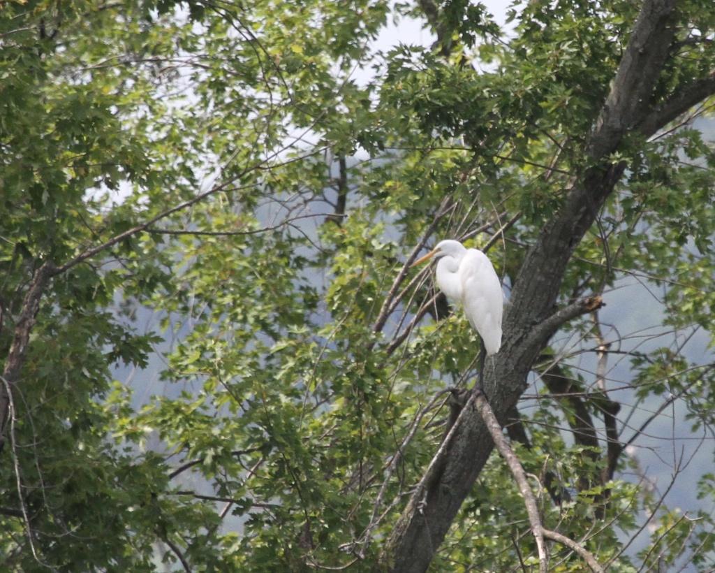 Great Egret<br /> Trempealeau National Wildlife Refuge<br /> Trempealeau County